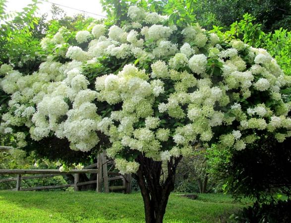 Гортензия ФАНТОМ Красивое белоснежное дерево.
