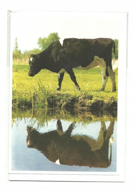 Пасс - Телки и их отражение в воде / корова