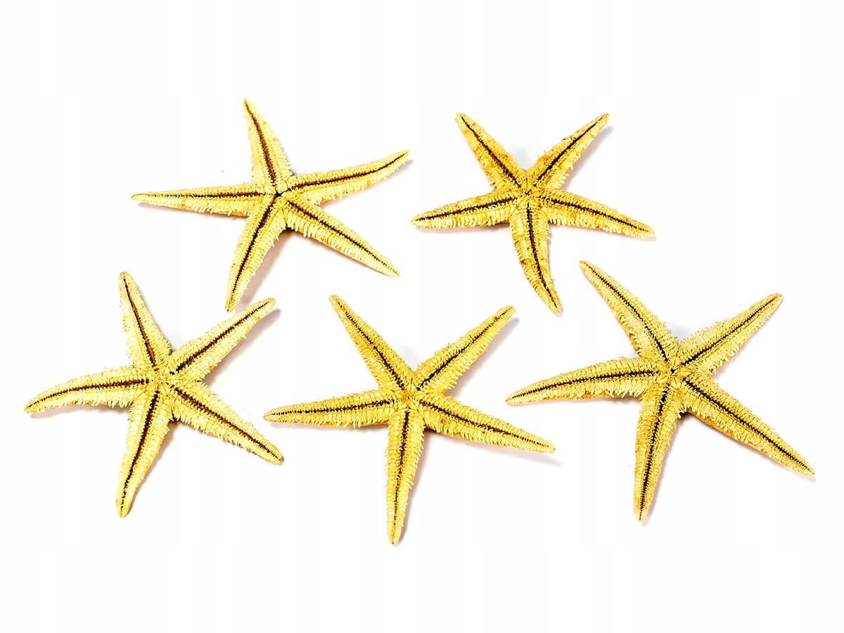 10 ks. Prírodná hviezda Starfish 6-8 cm
