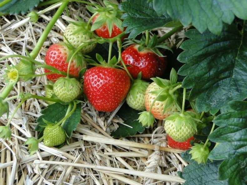 SADZONKI TRUSKAWEK 5ODMIAN 10SZT+GRATIS NOWOŚĆ2020 Rodzaj rośliny Poziomki i truskawki