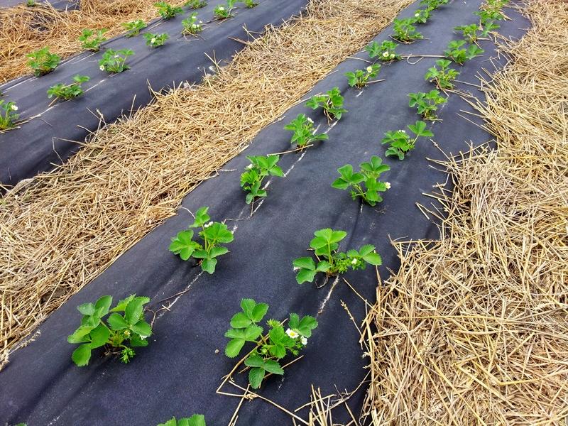 Купить Agrotkanina на сорняки с ОТВЕРСТИЯМИ 40 см ширина на Otpravka - цены и фото - доставка из Польши и стран Европы в Украину.