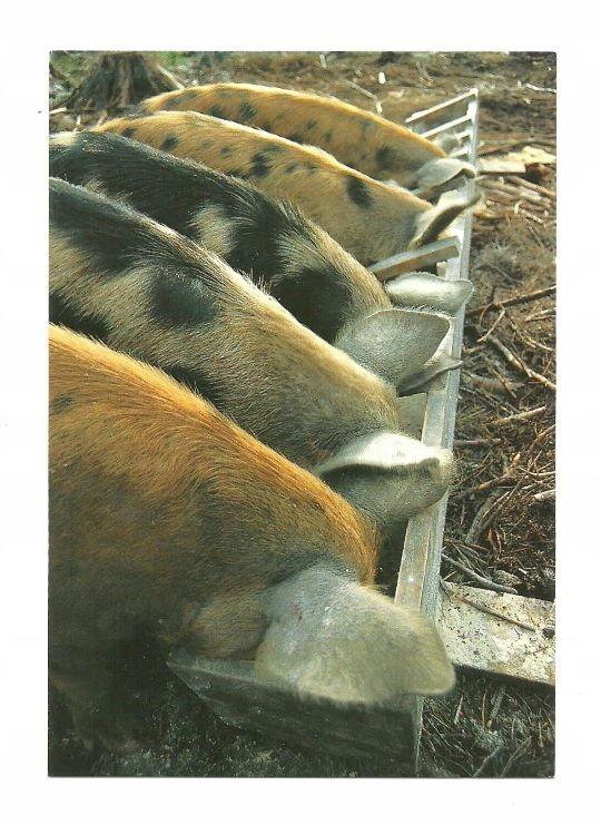 Pocztówka - Świnie domowe przy korycie ...