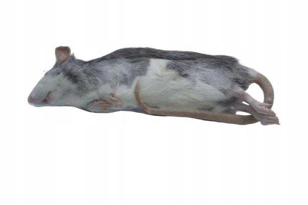 Potkany mrazené 140/170 g 10 ks