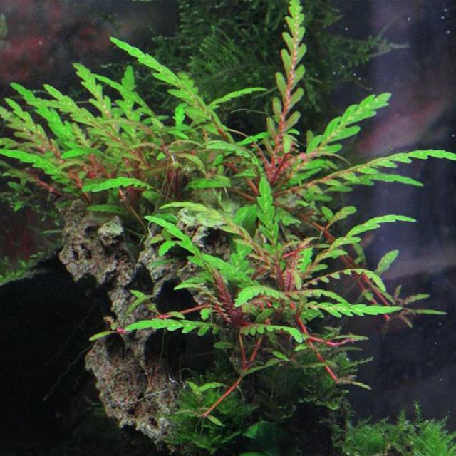 hygrophila pinnatifida ПРОДВИЖЕНИЕ КОРЗИНЫ