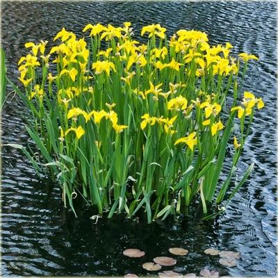 IRYS YELLOW - желтый ирис для пруда.