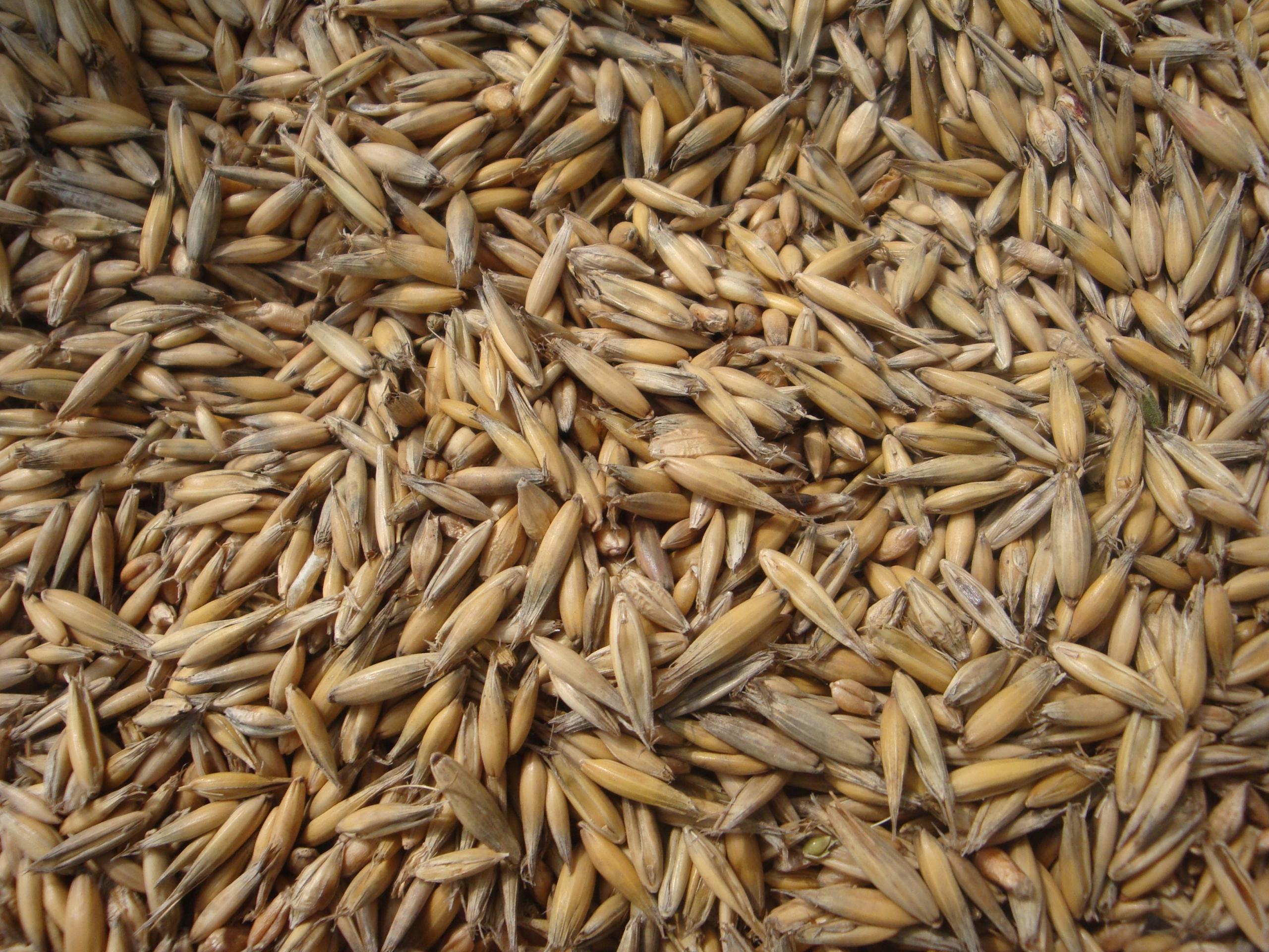 Картинка зерна овса