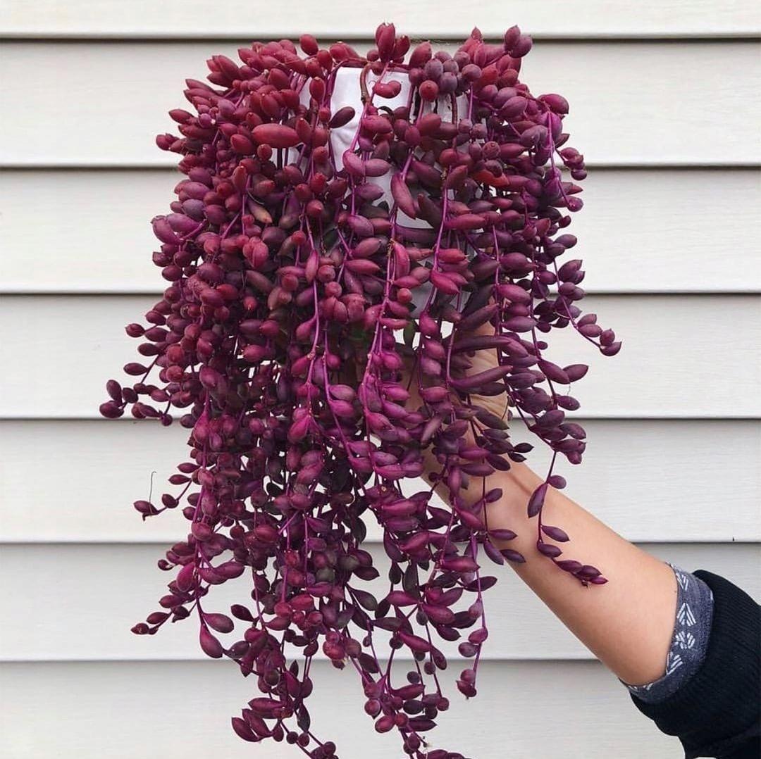 Otthon РУБИНОВОЕ ОЖЕРЕЛЬЕ фиолетовые листья ДЕТИ