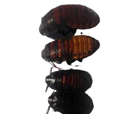 Švábov Madagaskarskie 4-8 cm 100 ks