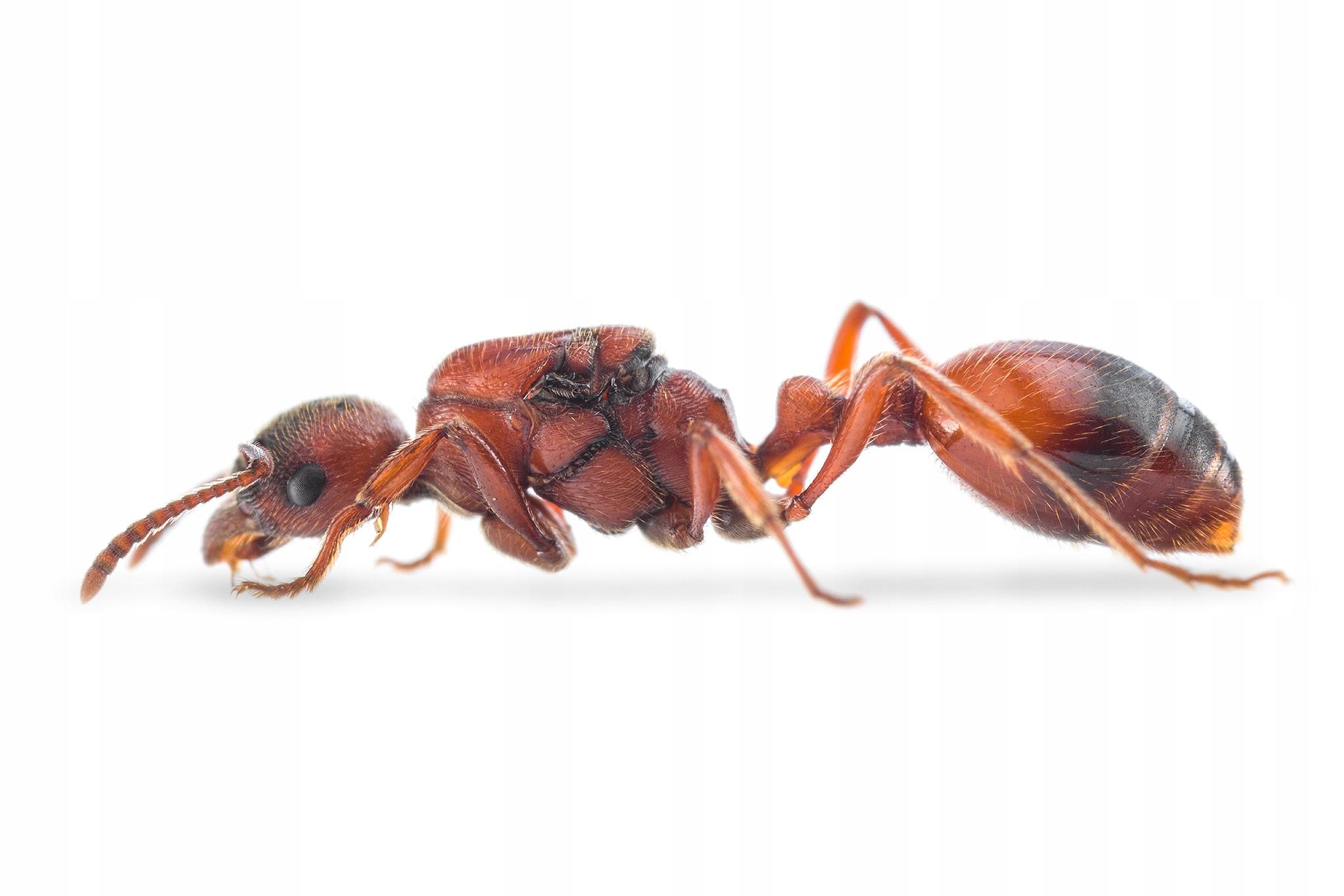 Mravce Manica rubida