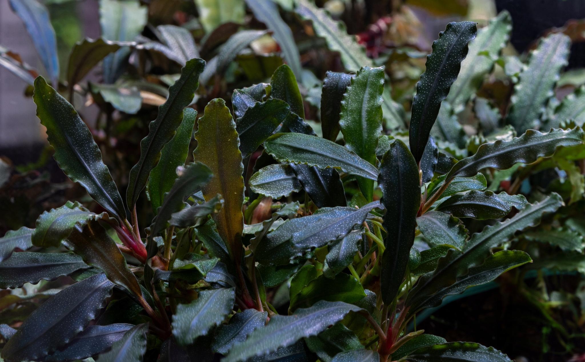 Bucephalandra odrôd 6 ks 1