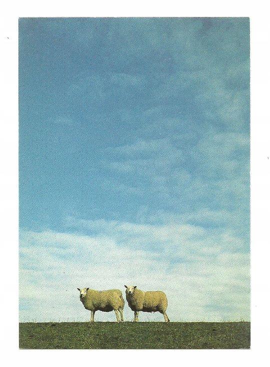 Pocztówka - Owce na grobli / owca domowa ...