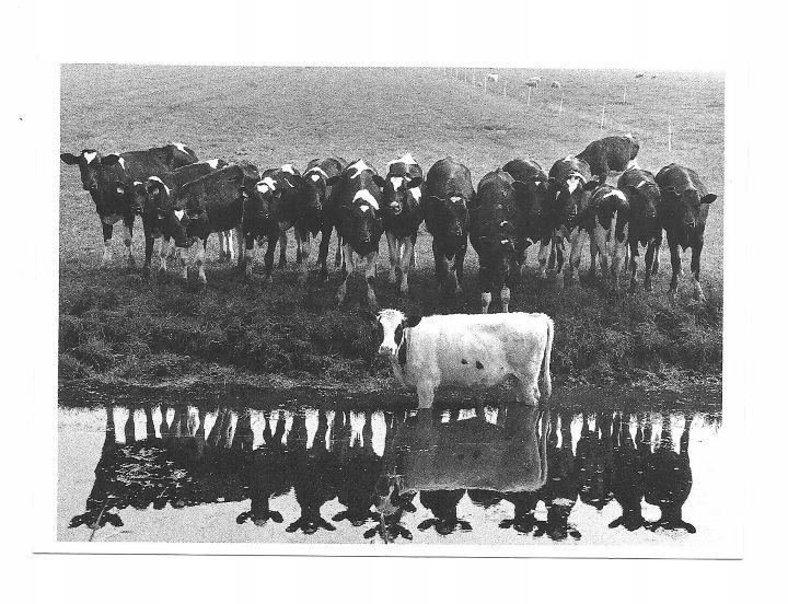 Poczt. - Uparciuch albo Wywieranie wpływu na krowy