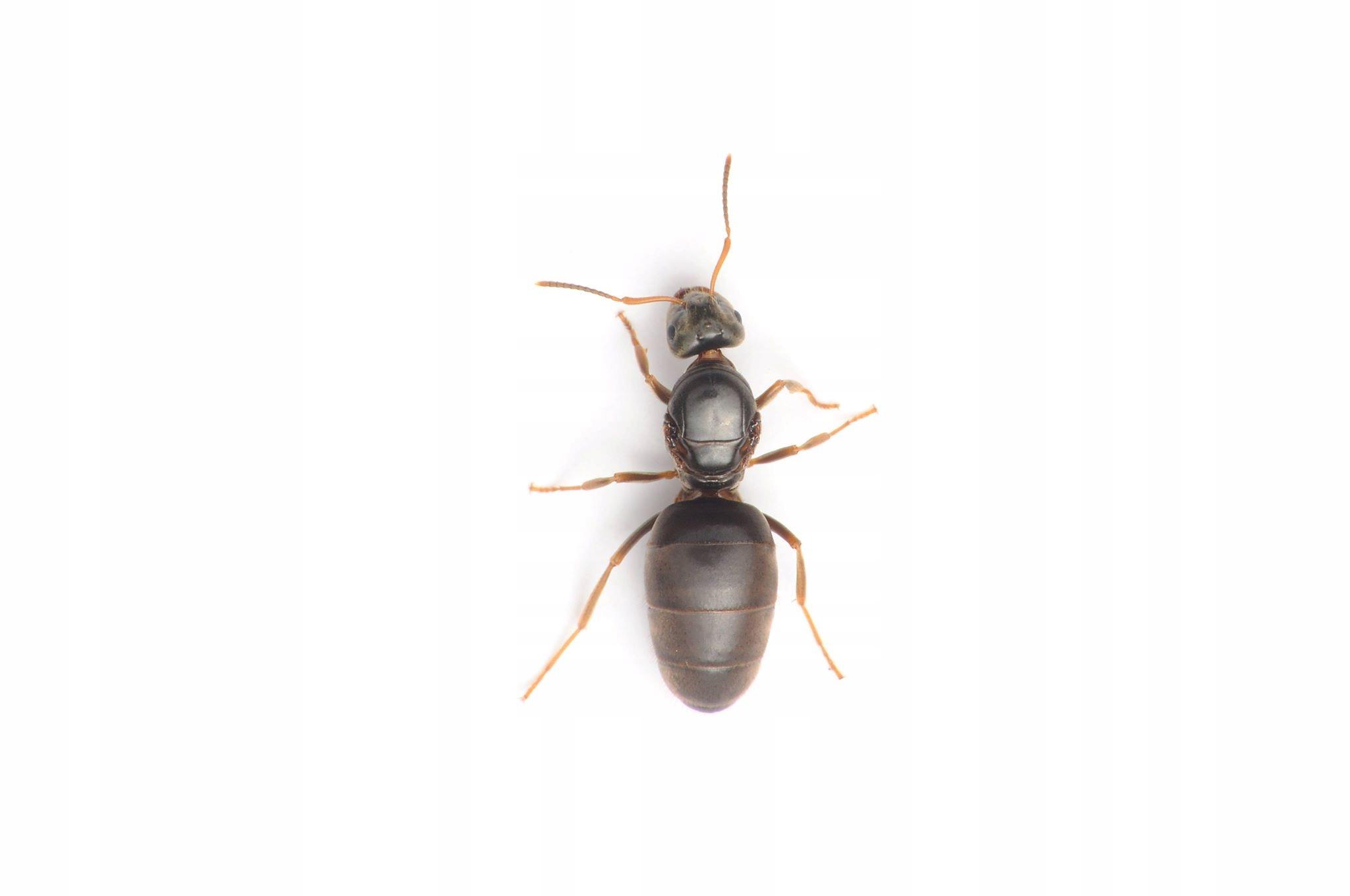 Lasius niger Królowa +robo, mrówki do formikarium.
