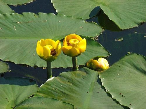 Желтая водяная лилия для пруда
