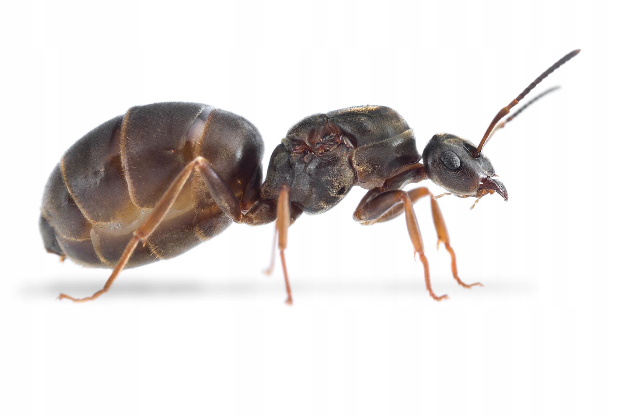 Муравьи Lasius niger Королева+Робот(10 -20 )+потомство