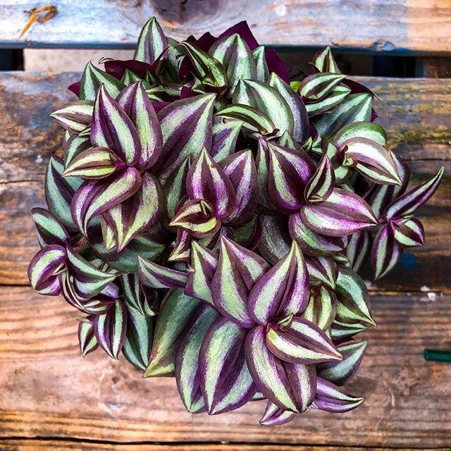 Tradescantia Pink Joy Fioletowe Liscie Trzykrotka 9538992136 Allegro Pl