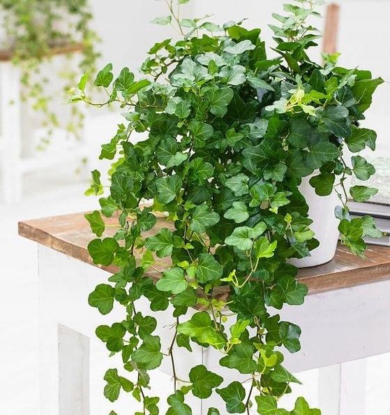 Hedera WONDER плющ -лиана с зелеными листьями