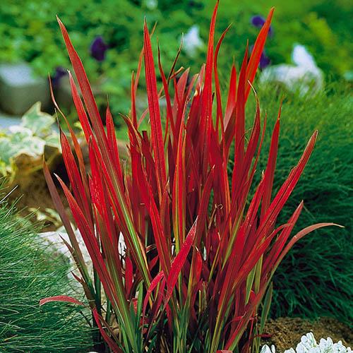 Цилиндрическая трава IMPERATA RED BARON / RED