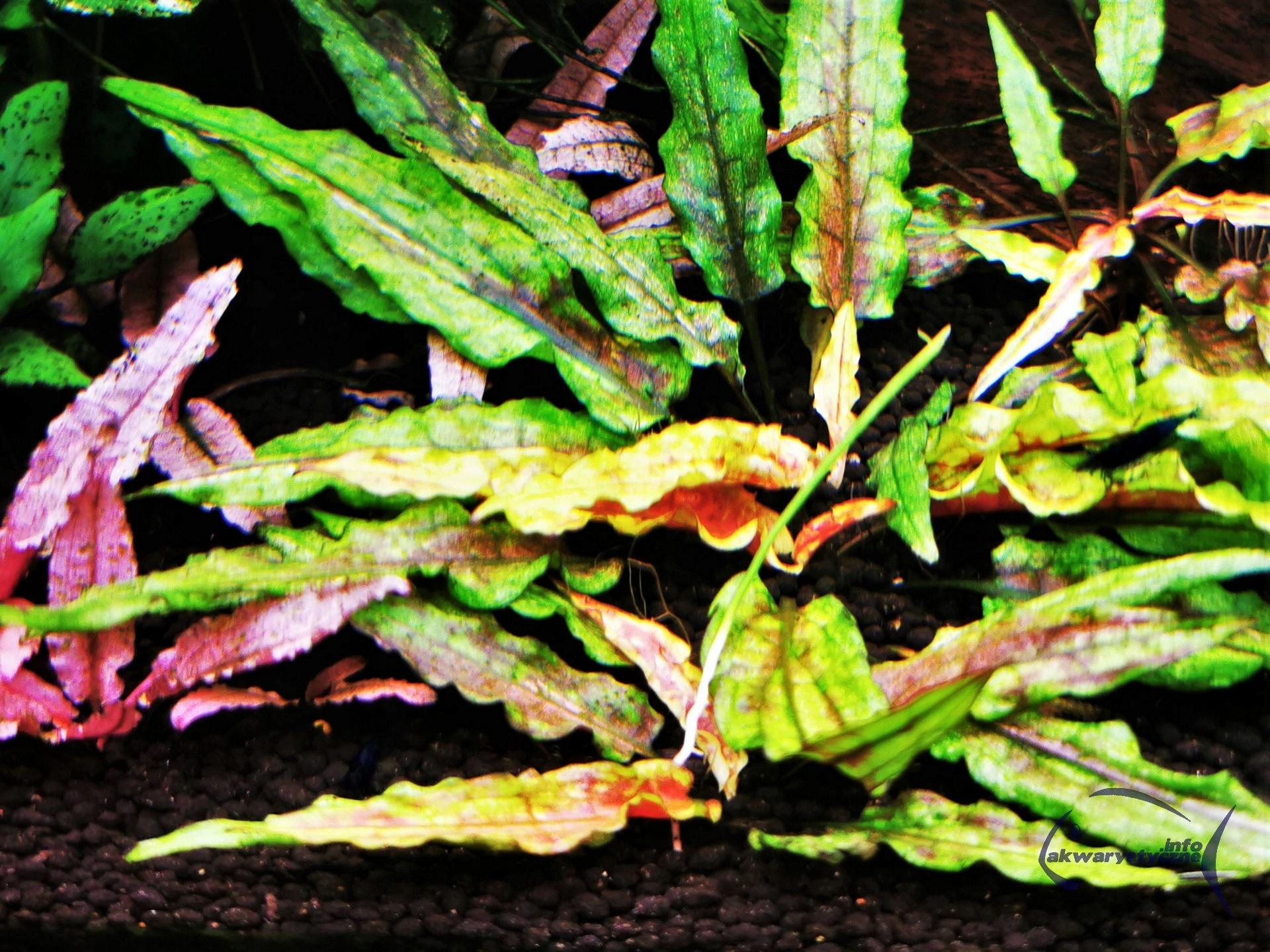 Cryptocoryne wendtii 'Zelené Gecko' - RARITA