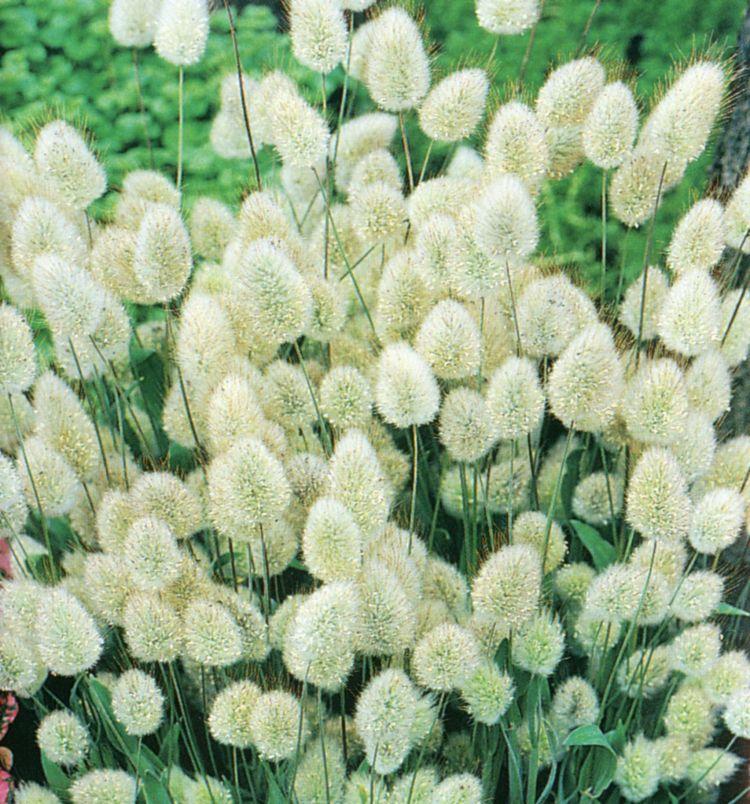 растение заячий хвостик фото знать основные