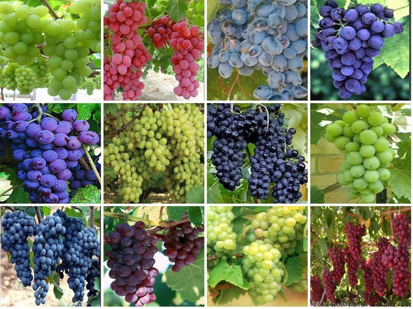 Winogron Szczepiony Pakiet 12 Kolorów Mróz 30c 7822060613