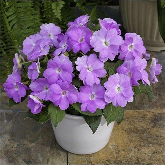 Niecierpek SunPatiens 'Compact Orchid'