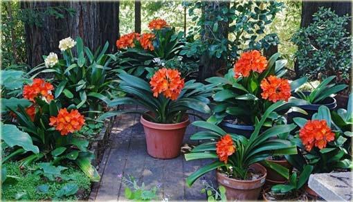 Nasiona. Kliwia doniczkowa piękność czerwona 5 szt
