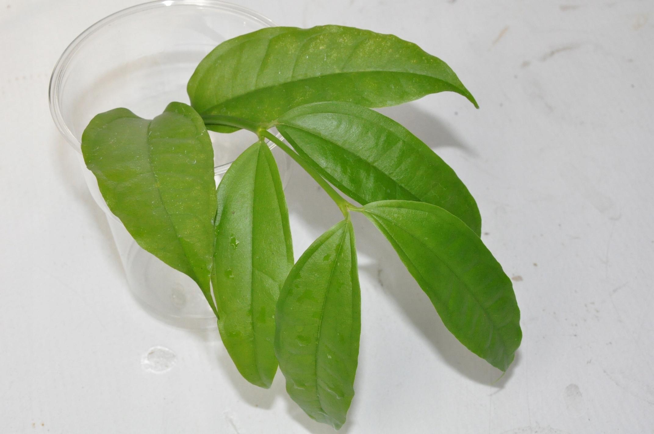 hoya medinillifolia