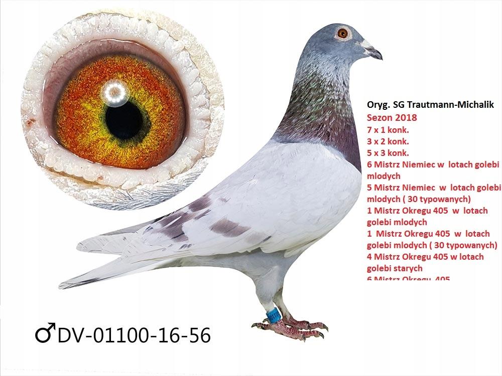 Gołębie z Niemieckiej Hodowli SG Trautmann-Michali