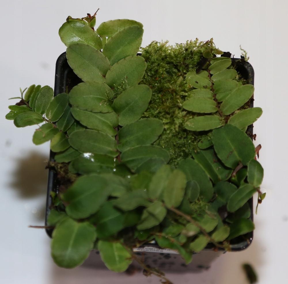 Marcgravia spec. - terrarium tropikalne