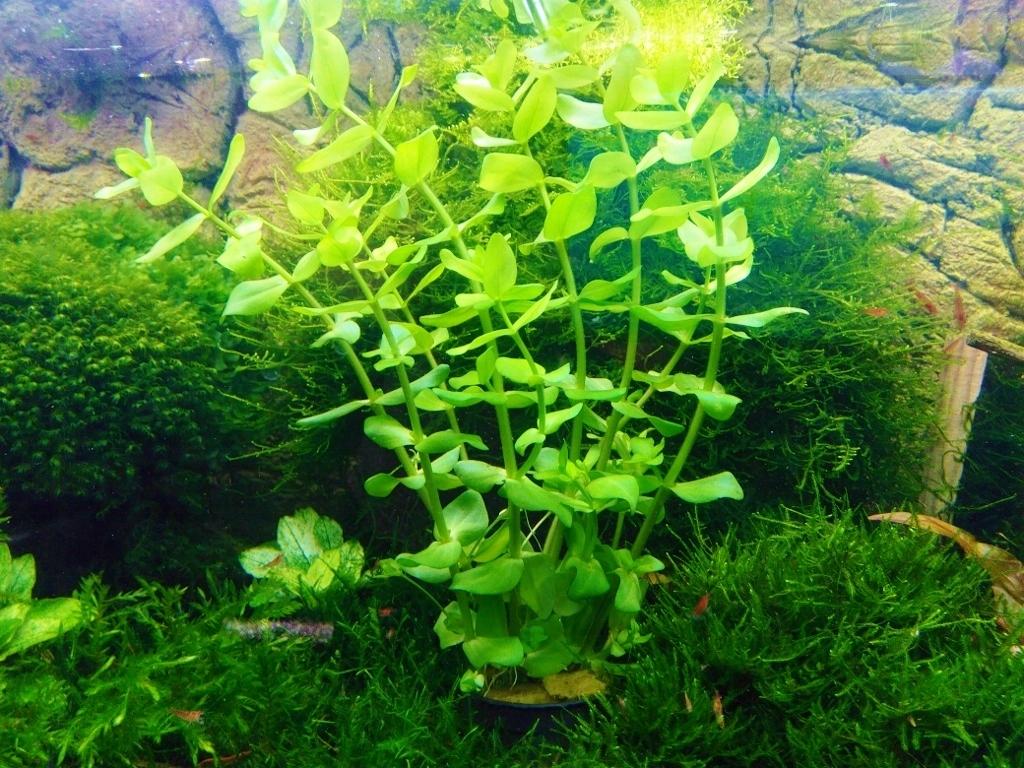 BACOPA CAROLINIANA piękna intensywna zieleń
