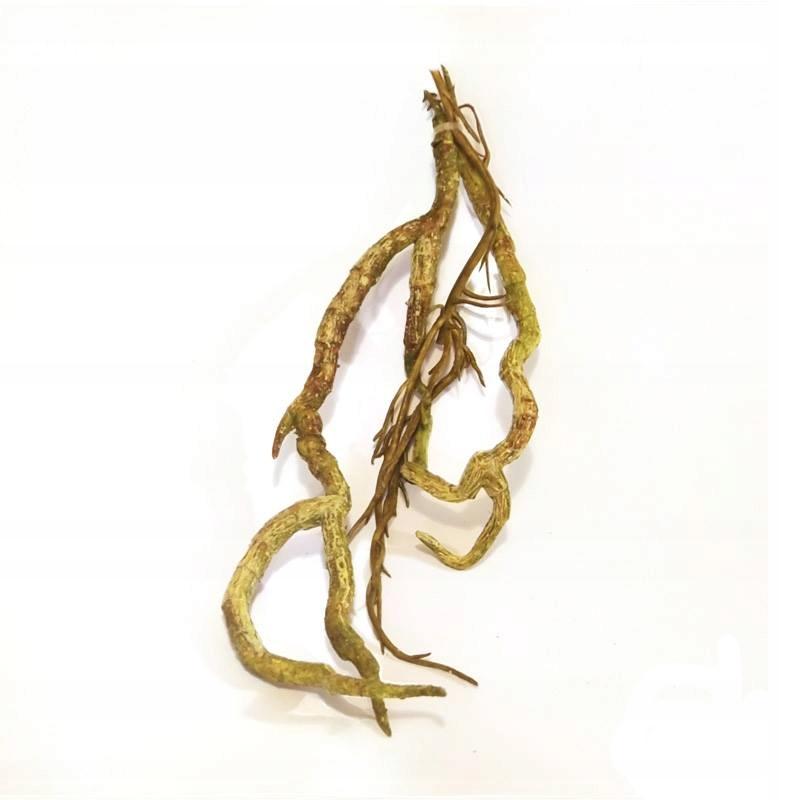 Gumowaty Korzeń 18-20cm