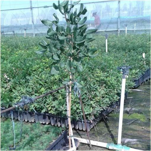 Nasiona. Orzech Pistacja pistacia jadalny 3 szt.
