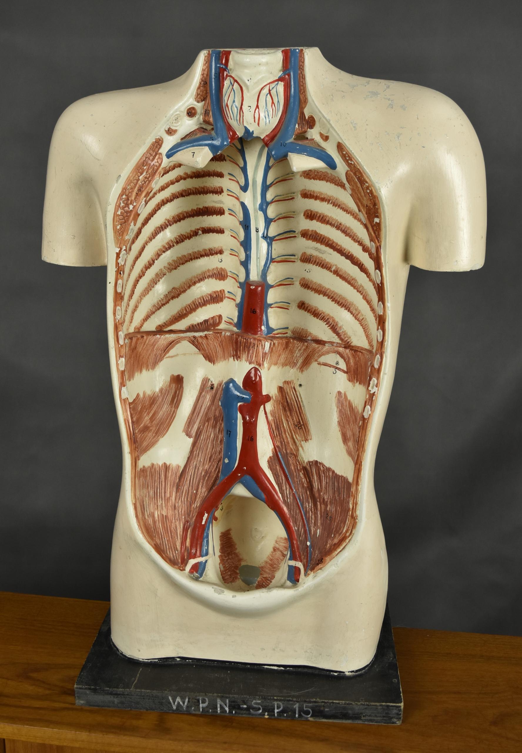Model Anatomiczny Vintage Prl Szkolna Pomoc 60s