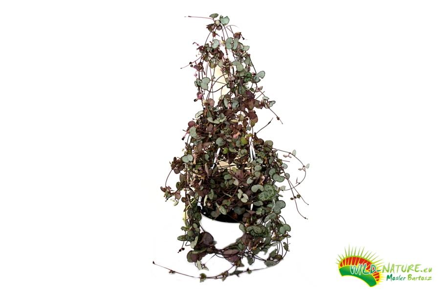 Ceropegia wooda Lampion chiński Ogromne rośliny 1m