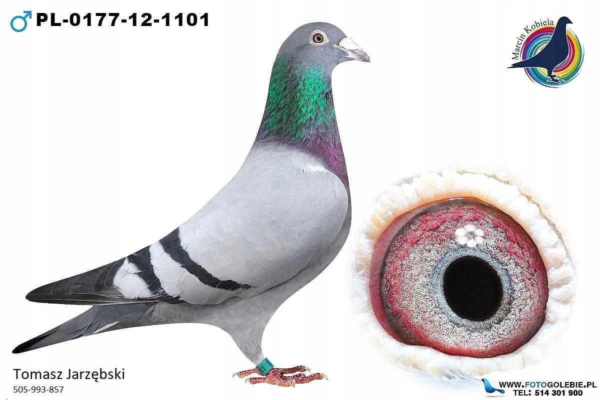 Ojciec 9 gołębia Polski Gołębie Pocztowe