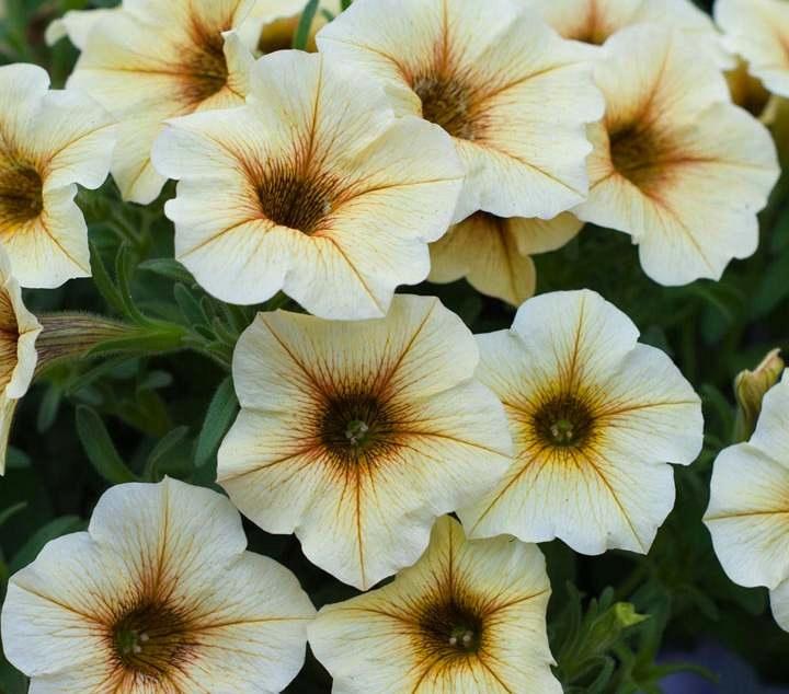 super petunia żółto-waniliowa x10szt_NOWOŚĆ_1623BF