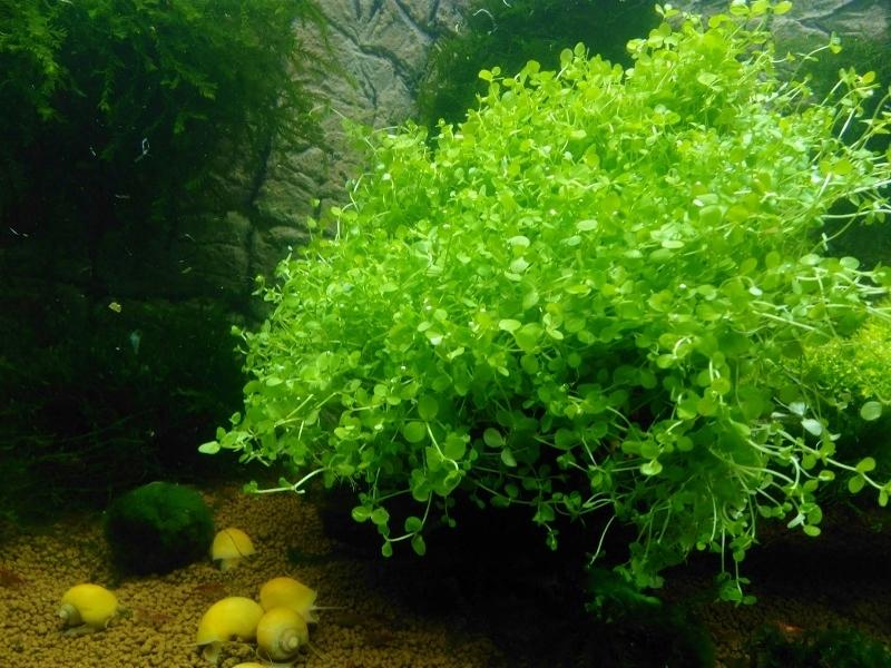 Micranthemum MONTE CARLO trawnik porost b. łatwy