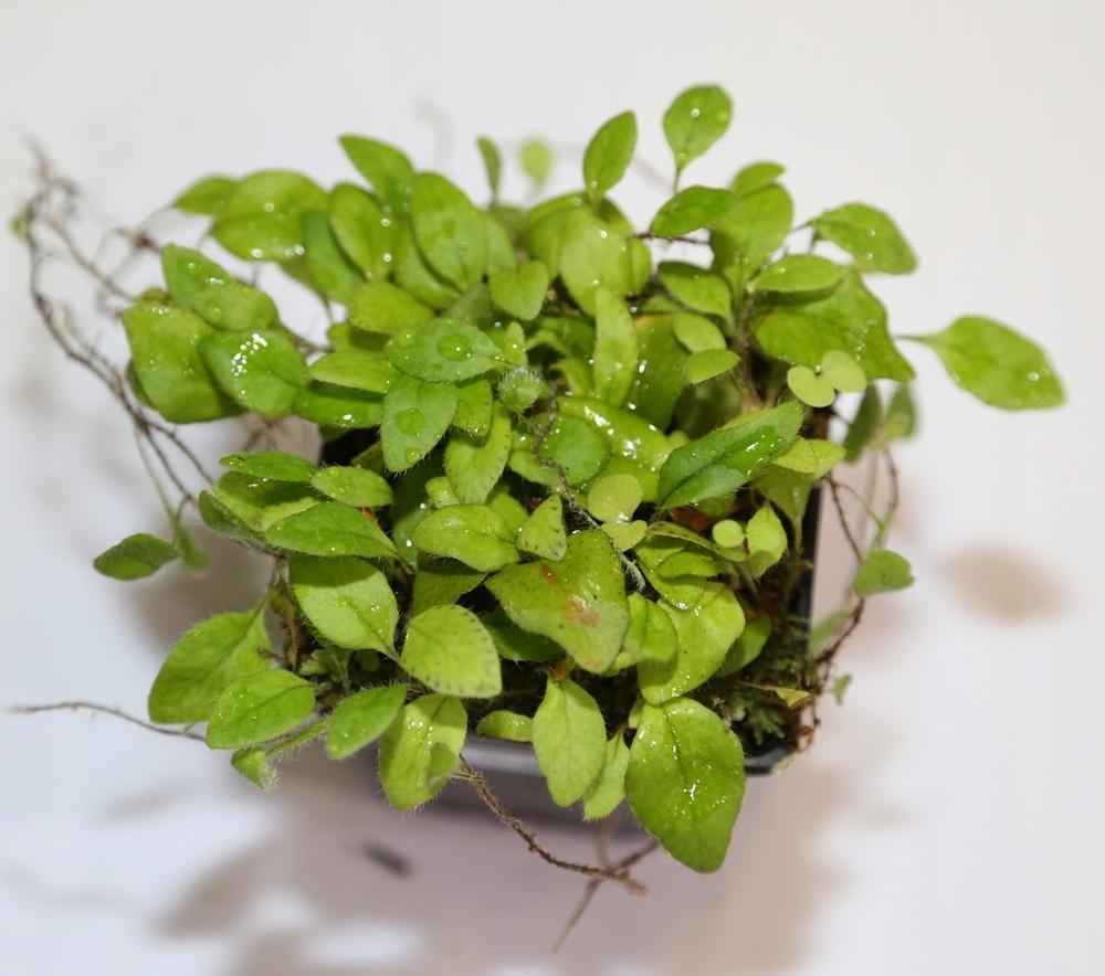 Microgramma tecta - terrarium tropikalne