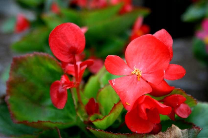 BEGONIA CZERWONA stale kwitnąca ciemna 10szt_22