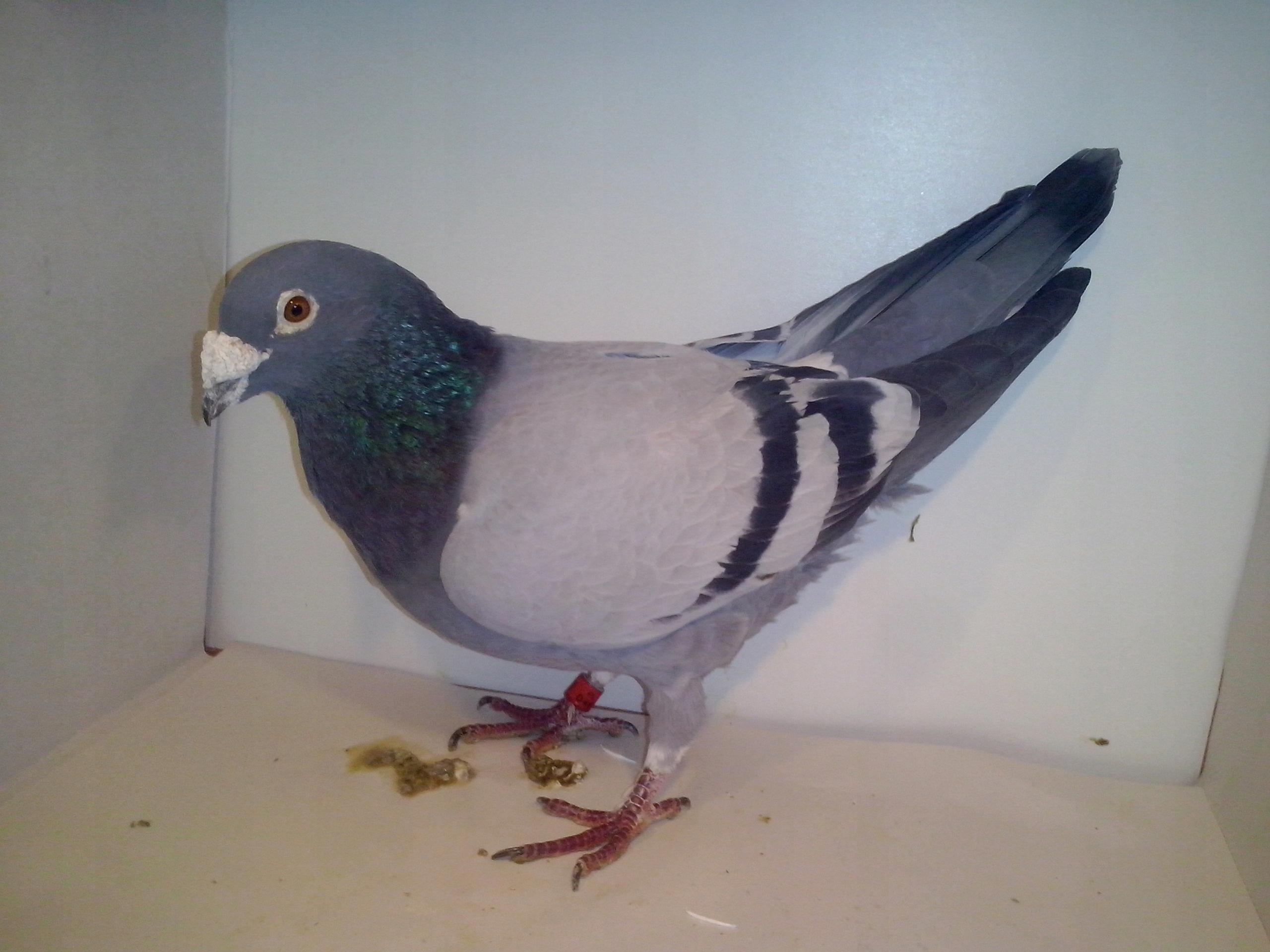 Wartościowe gołębie