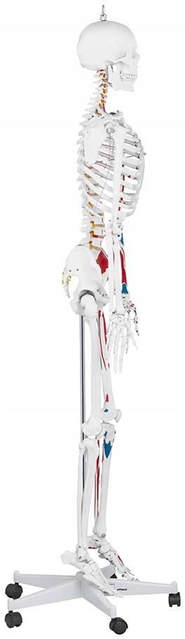 Model Anatomiczny Szkieletu Człowieka 11 Plakat
