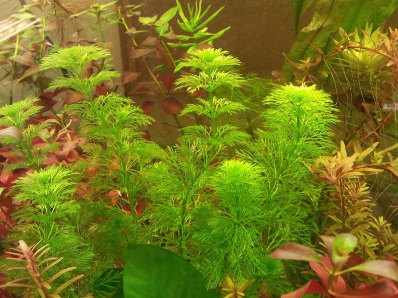 limnophila sessiflora piękna jasna zieleń