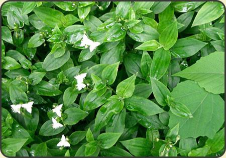 Trzykrotka (Tradescantia fluminensis) - sadzonka