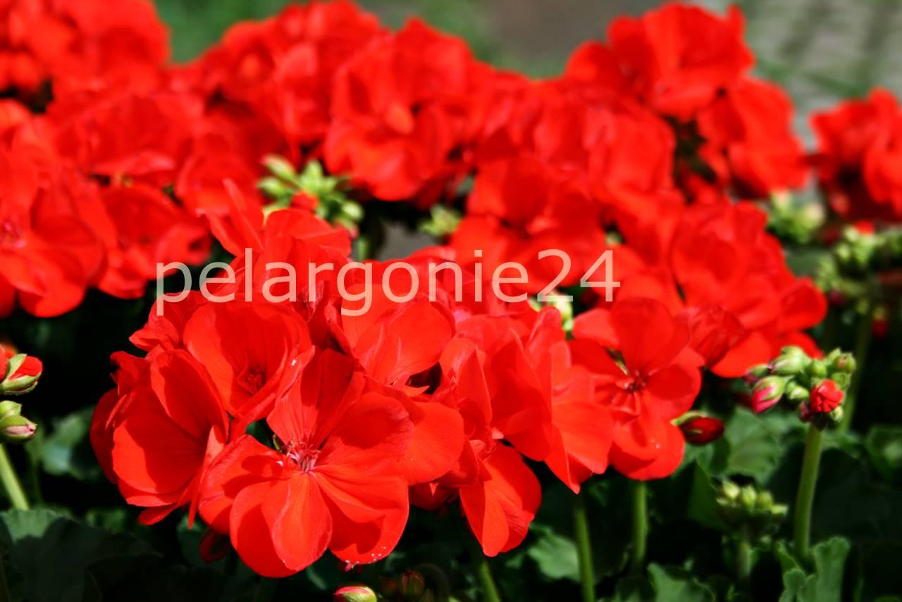 Pelargonia RABATOWA CZERWONA TYROL x10szt.R_172_CZ