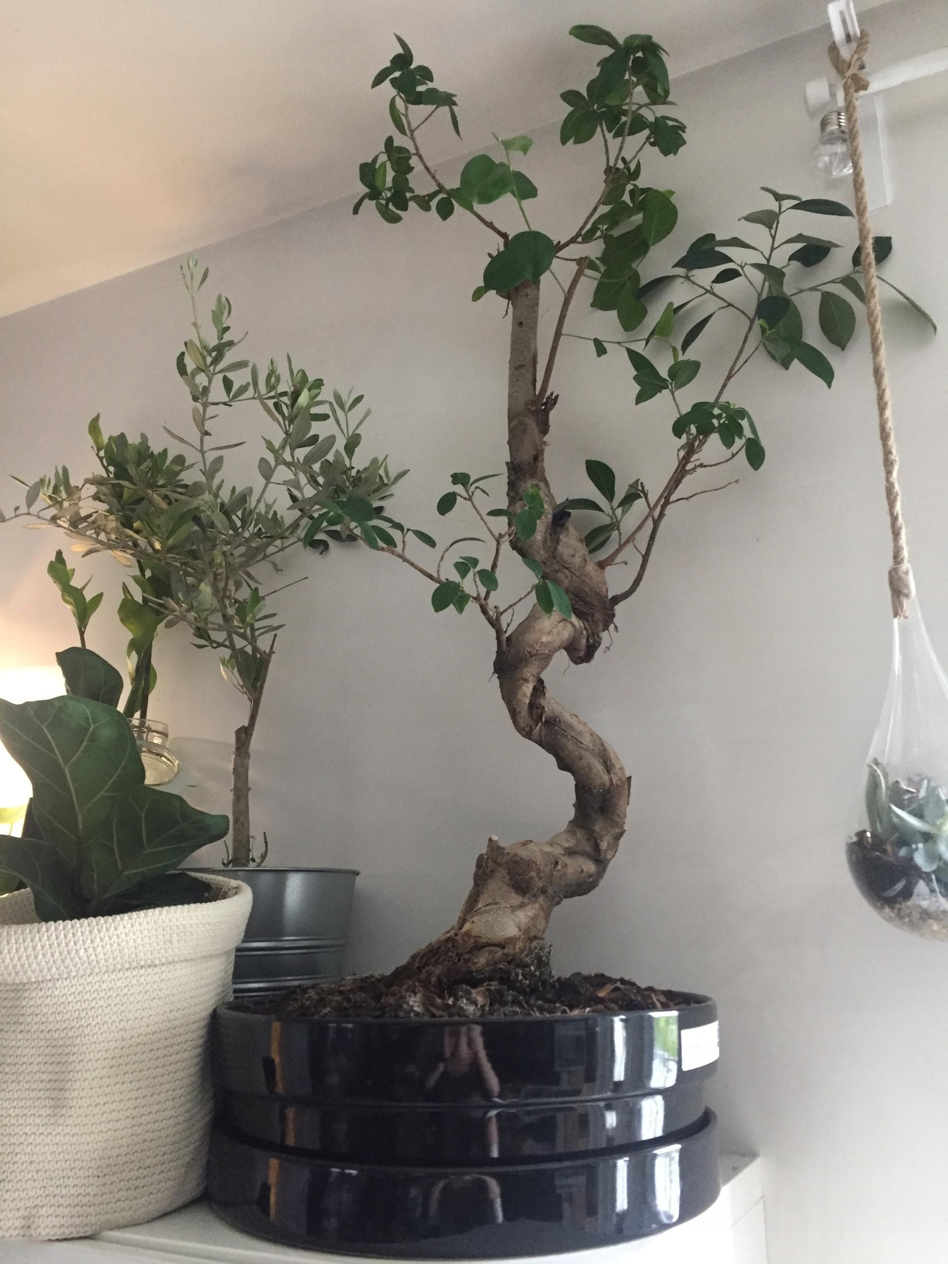Ficus Bonsai Microcarpa Ginseng Ikea Tanio 8083519158
