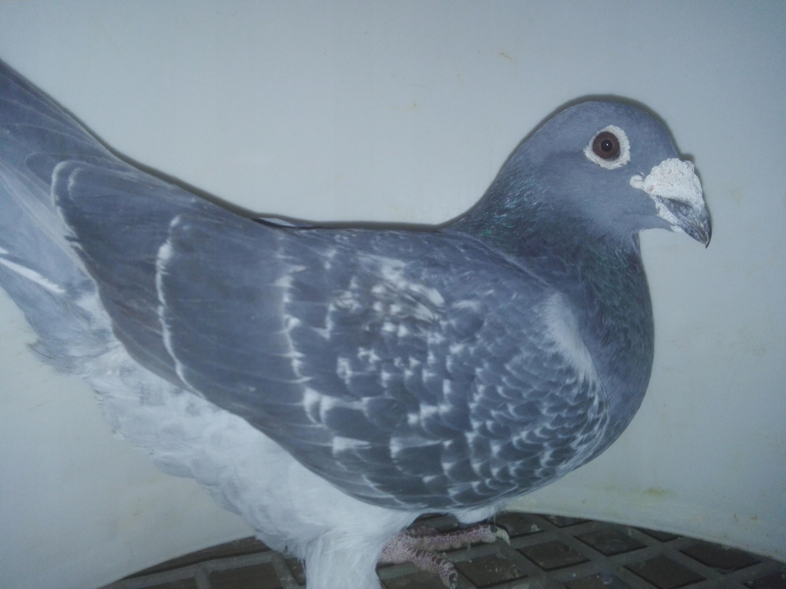 Gołąb gołębie likwidacja hodowli aareden wojtowicz