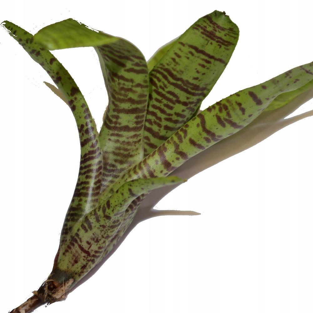 Neoregelia Tigrina - bromelia terrarium