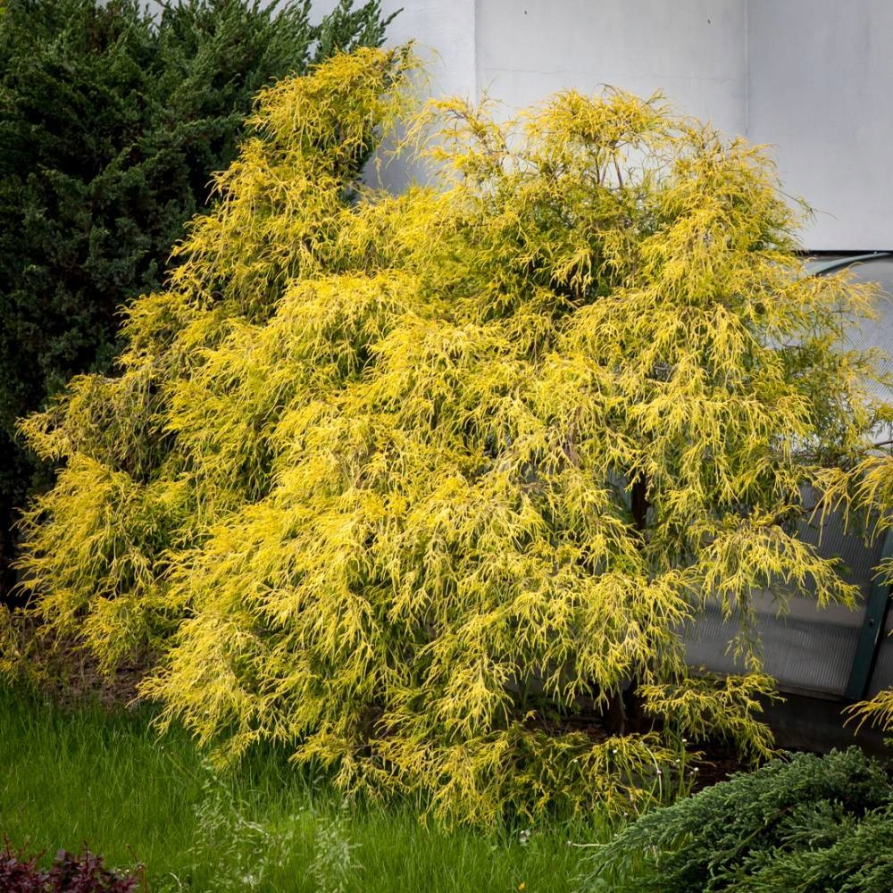 Cyprysik groszkowy FILIFERA AUREA w DONICZCE Rodzaj rośliny cyprys i cyprysik