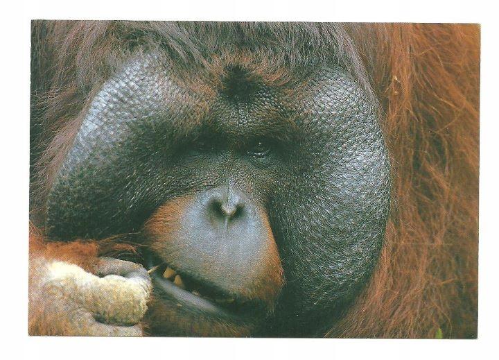 Почта - Борнейский орангутанг / портрет с зубочисткой